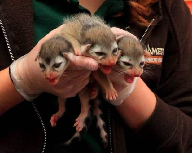 Зоопарк Пенсильвании показал детенышей-тройняшек какомицли