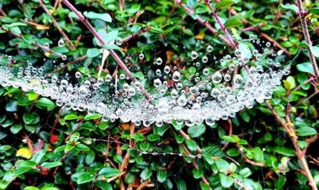 капли воды в паутине