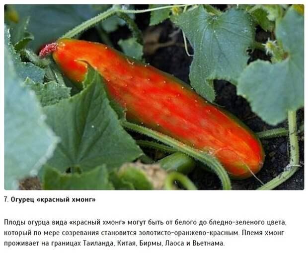 10 разновидностей огурцов, о которых вы даже не слышали