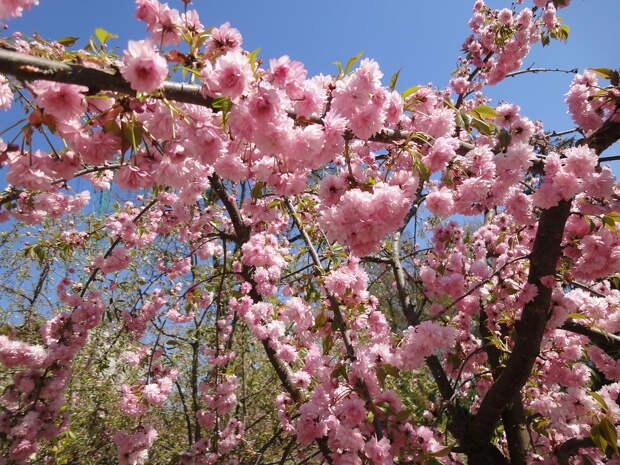 Розовая нежность весны
