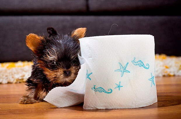 Мейси - самый маленький щенок в мире
