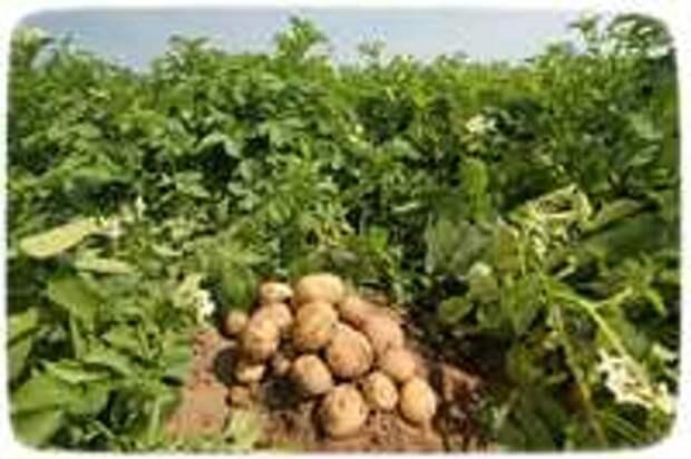 Высокоурожайное выращивание картофеля в Сибири