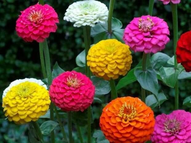 Циния - цветение
