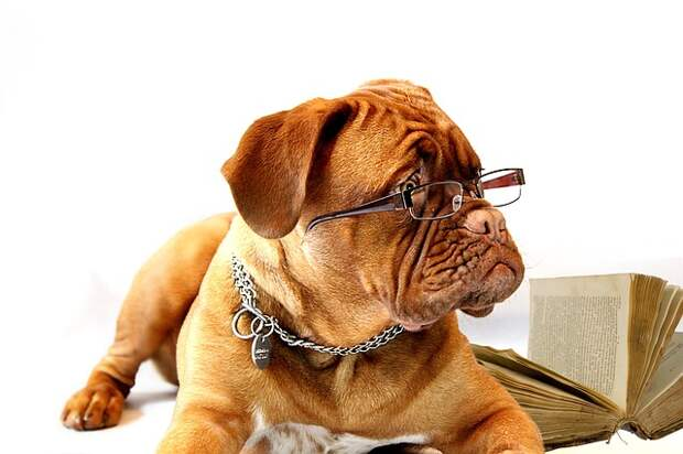 Собака, Бордоский Дог, Дог, Бордо, Бордосских