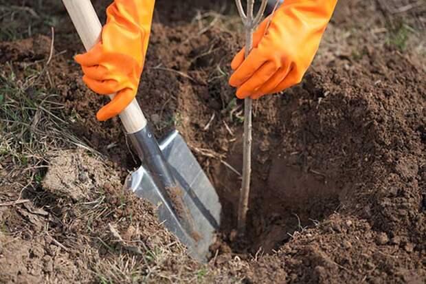 Распространенные ошибки при посадке деревьев