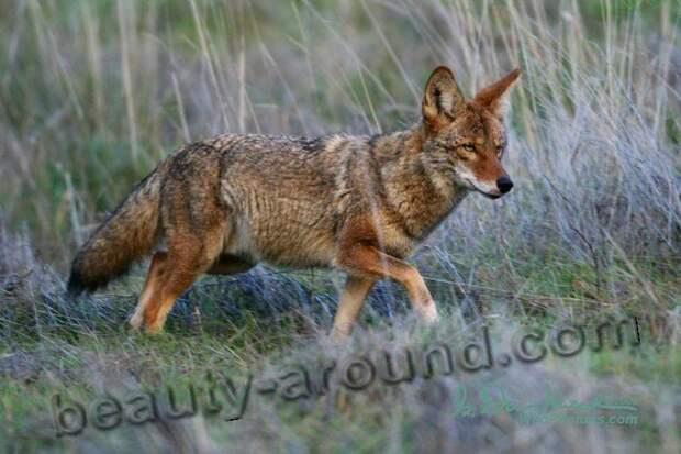 Койот (луговой волк)