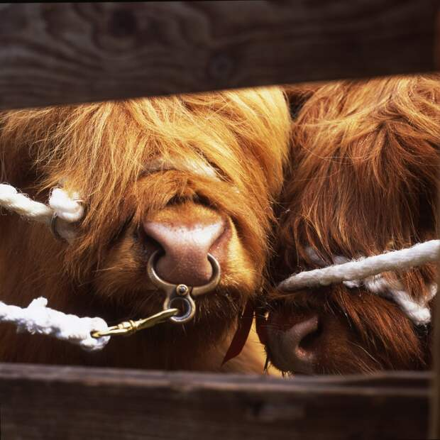 Коровы хайлендской породы