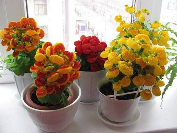 Кальцеолярия – от посева семян до цветения