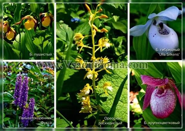 Садовые орхидеи посадка уход (фото)