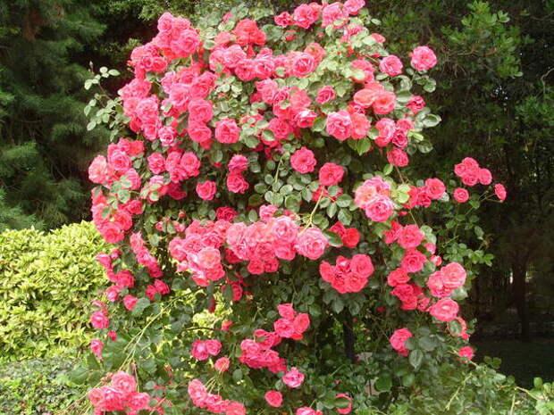 Цветущая вертикаль из плетистой розы Девичьи Грезы в миксбордере