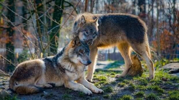 В России волки стали чаще нападать на людей