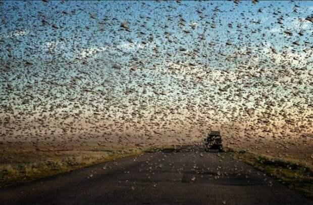 Это страшная катастрофа - ведь саранча пожирает все на своем пути. инсектофобия, интересное, много, насекомые, природа, рой, скопление