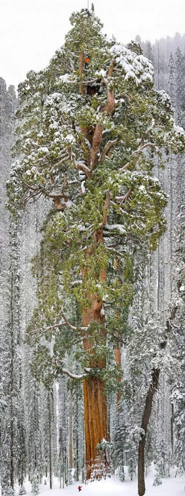 Третья в мире по величине секвойя