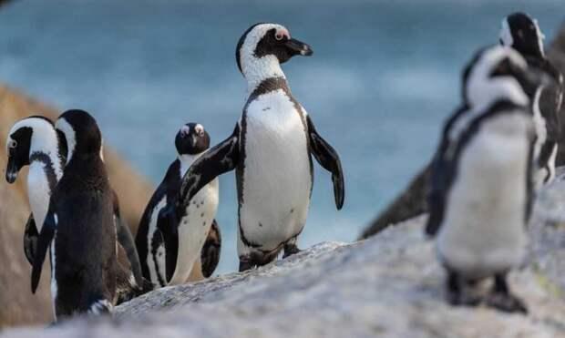 В ЮАР пингвины, которые находятся под угрозой исчезновения, погибли от пчелиных укусов