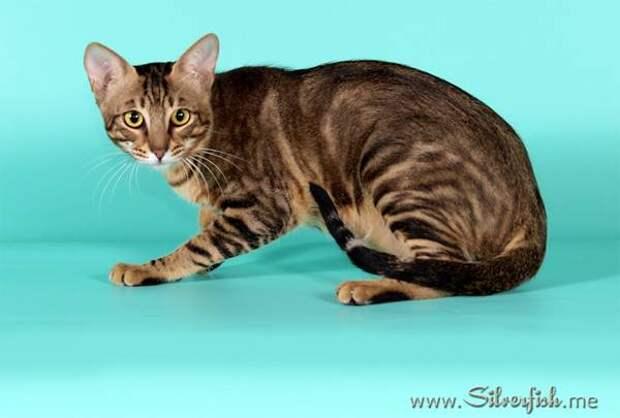 Сококе, соукок, фото породы кошек фотография картинка