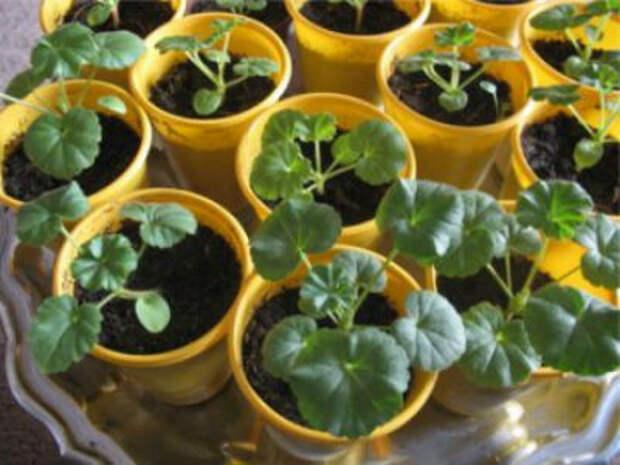 Пеларгония из семян, выращивание и уход
