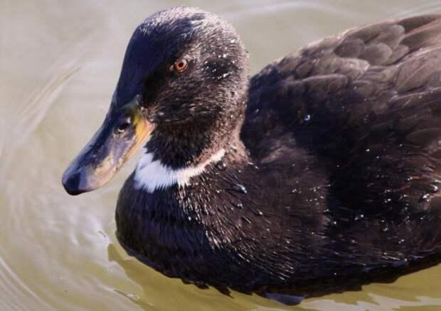 Утки черные: характеристика и фото