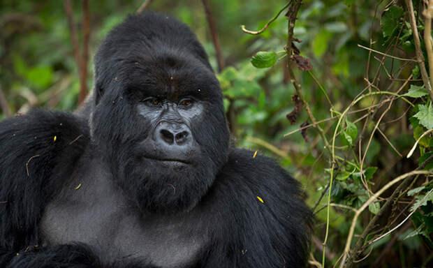 Горные гориллы из Руанды
