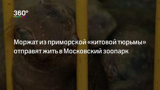 Моржат из приморской «китовой тюрьмы» отправят жить в Московский зоопарк