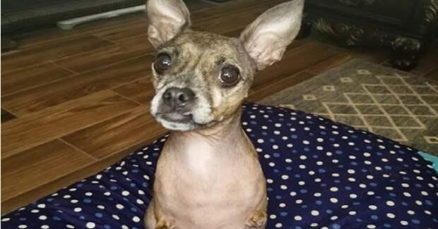 «Как кенгуру»: маленькая собачка живет без передних лапок и прыгает на двух задних