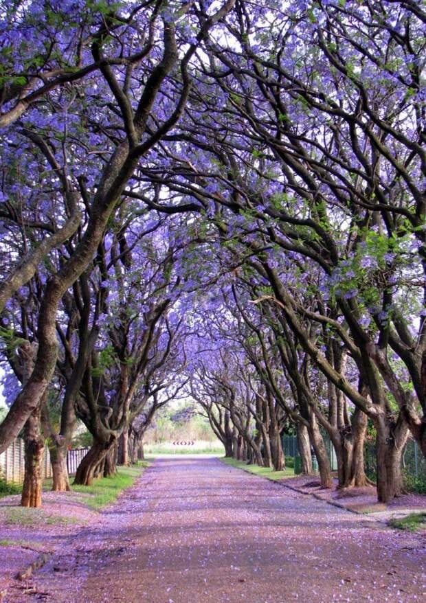 Жакаранда, Южная Африка
