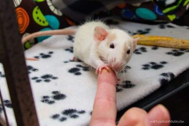 И им постоянно нужно, чтобы вы трогали их крошечные лапки животные, крыса, милота, позитив