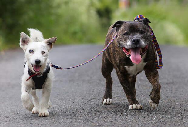 Четвероногий поводырь и его слепой друг ищут себе хозяина дружба, поводырь, собака