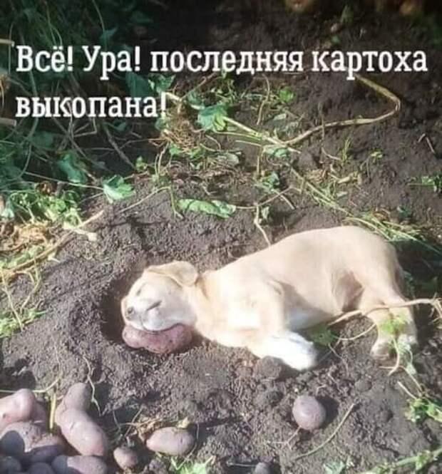 Возможно, это изображение (собака и текст «всё! ура! последняя картоха выкопана»)