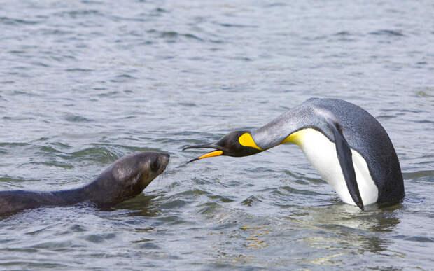 Пингвин и морской котик