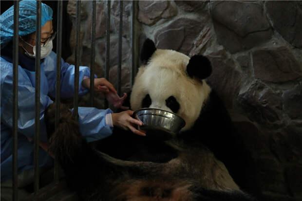 В Китае у панды родились пандята-близнецы
