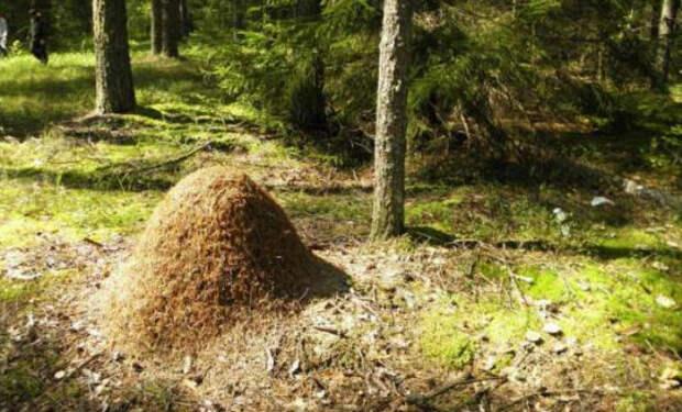 Егерь показал как избавляется от комаров: кладет тряпку в муравейник