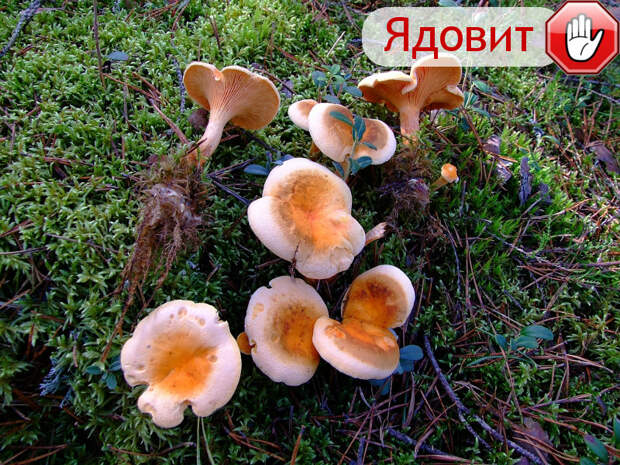 Личички гриб, грибы