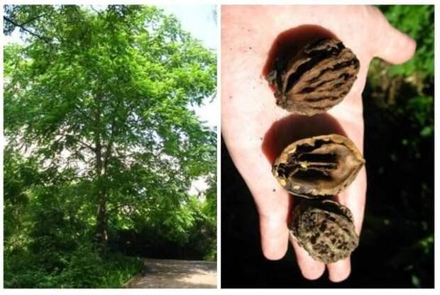 Ланкастерский орех: взрослое дерево и его плоды. Фото с сайта greeninfo.ru