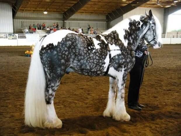 Белая в яблоках животные, красота, лошади