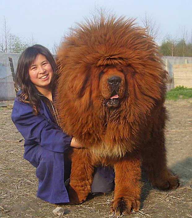 6. Король собак размер, собака