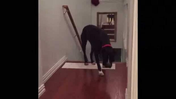 Этот симпатичный питбуль очень боится проходить через дверной проем, поэтому он делает это спиной