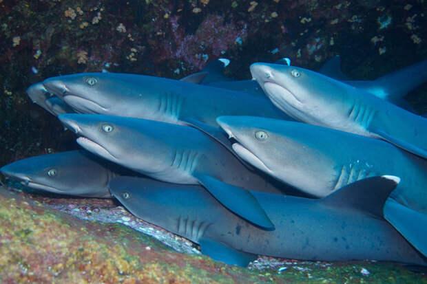 10. Рифовые акулы, которые плавают группами и устраивают шумные вечеринки в мире рыб. акулы, животные, обожание, рыбы, факты