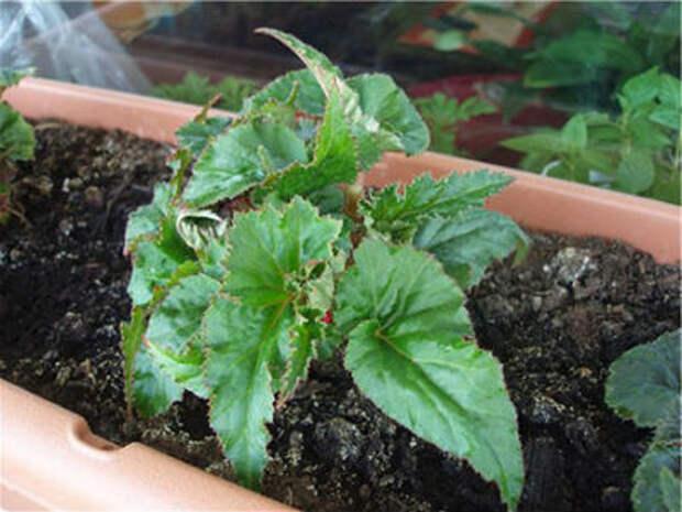 Бегонии клубневые, посадка и уход. Выращивание в домашних условиях и грунте
