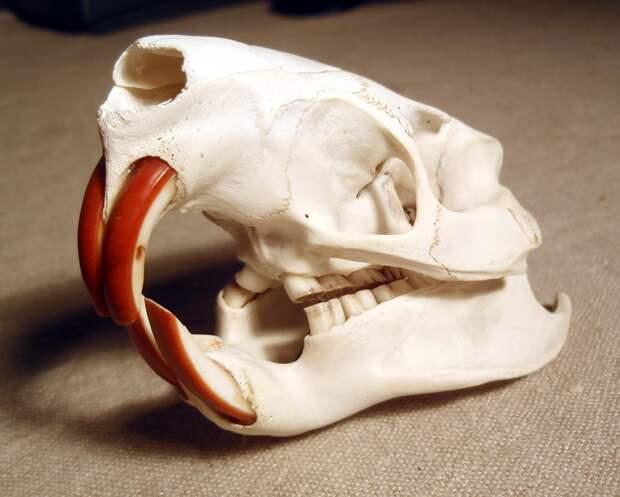 Нижние зубы бобра могут посоревноваться по остроте с клыками хищника.