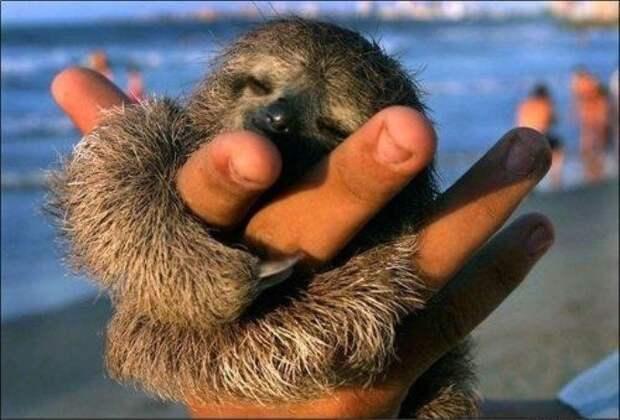 17 удивительных фактов о ленивцах 1