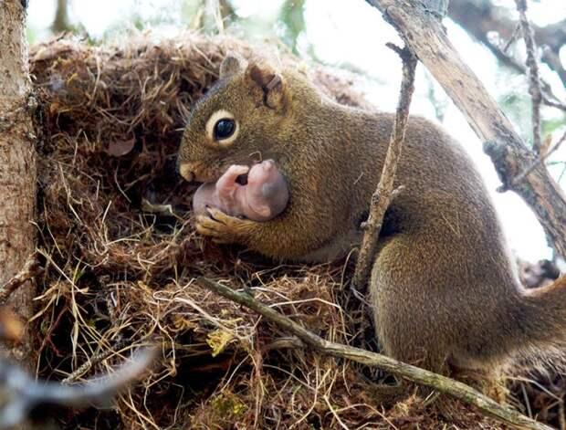 родители животные с их детенышами  белка