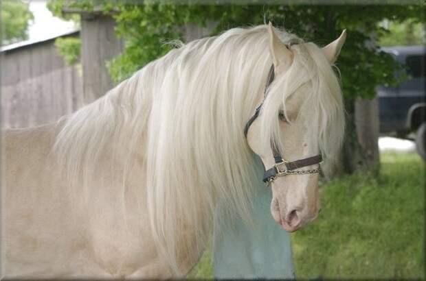 Золотистая шампанская животные, лошадь