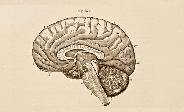 Есть ли связь между усложнением общества и уменьшением размера мозга