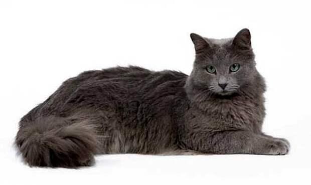 Нибелунг, фото породы кошек фотография