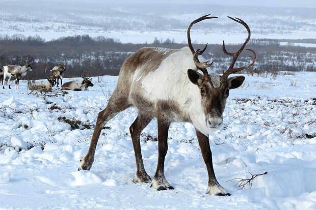 Массовый падеж северных оленей отмечен на Камчатке