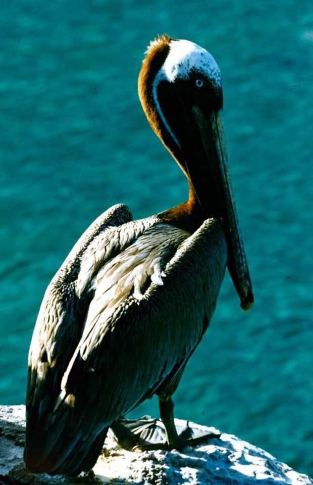 Бурый пеликан