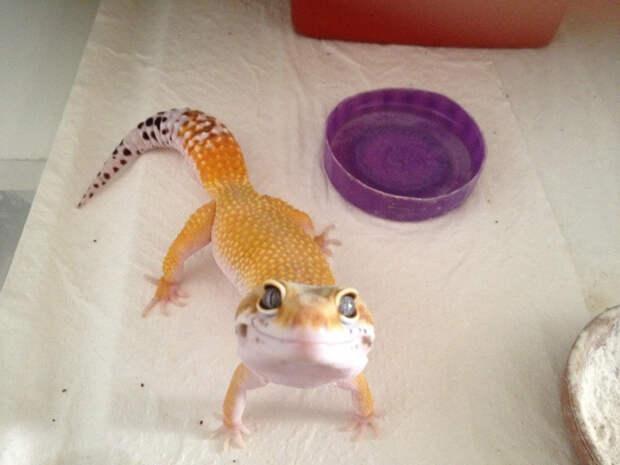 желтая ящерица