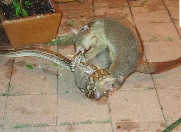 Не на того напал: Опоссум отбил своего детёныша у питона австралия, детеныш, животные, опоссум, питон, природа, спасение