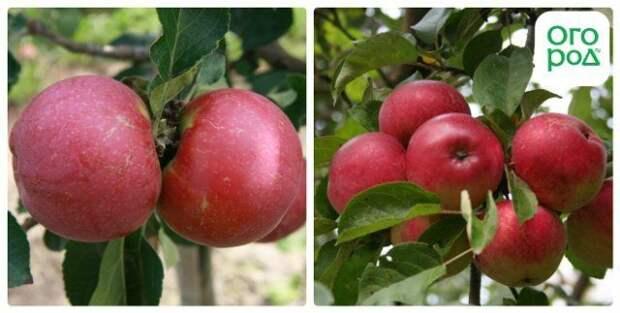 сорт яблок любо