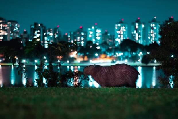 Гигантские грызуны напомнили миллионерам Аргентины «кто здесь хозяин»